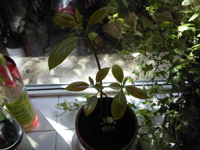 Grow your own avocado at home https://reflectionsandponderings.wordpress.com