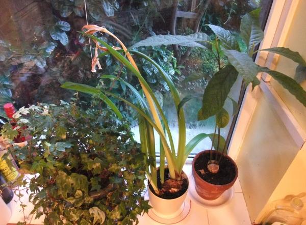 Avocado plant 2