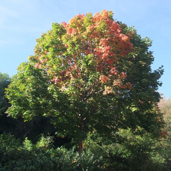 Blushing leaves
